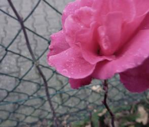 november rose by truedtkopf