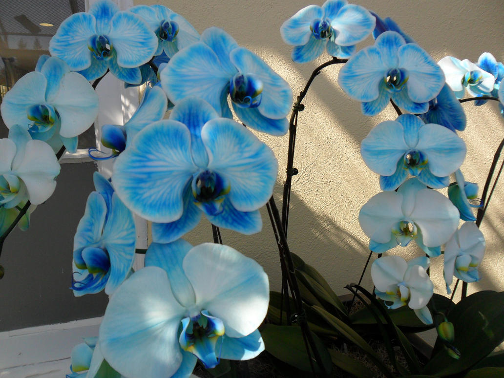 The First Blue Orchids by ShelbyGT 500KR on DeviantArt