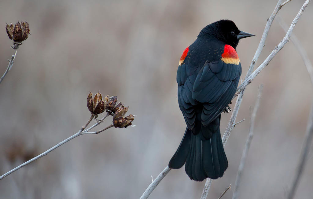 Red-winged Blackbird in a huff
