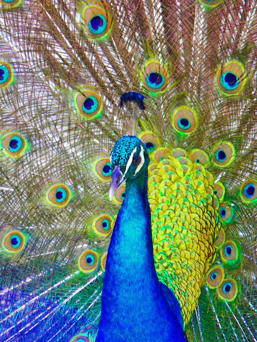 Peacock by anteaterjeter
