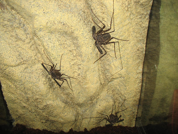 African Cave Dwelling Spiders by Chey-sama on DeviantArt