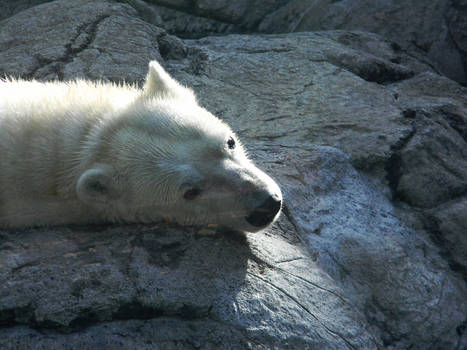 Sunbathing polar bear