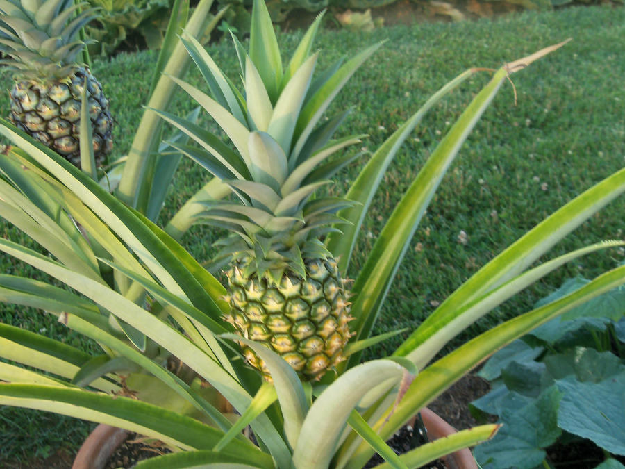 Any information on this pineapple for How to plant a pineapple top in a pot
