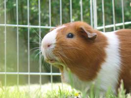 my guinea pig by boltzmann
