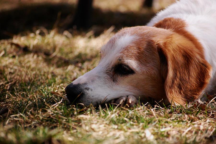 Beagle Model by Pendragon-007