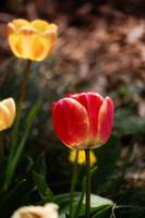 tulip5 by Pendragon-007