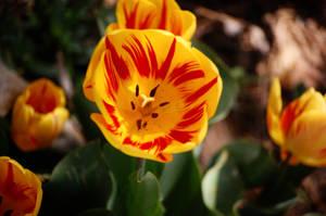 tulip2 by Pendragon-007