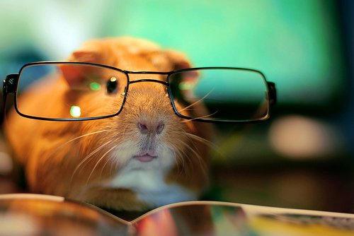 Library Guinea Pig