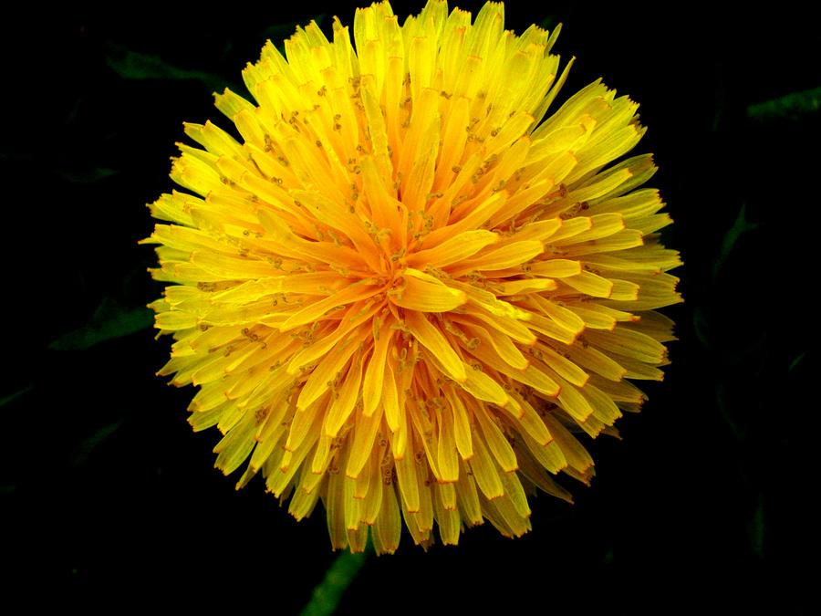 Big Dandelion by kendrakeng