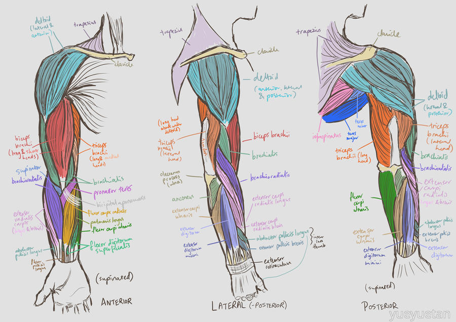 Study: Arm Muscles by yueyuetan on DeviantArt
