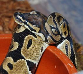 Python regius by antonioshadow