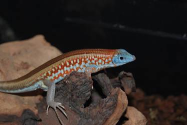 Tracheloptychus petersi by antonioshadow
