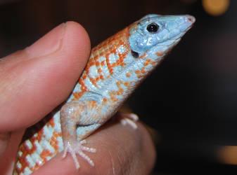 Madagascar Girdled Lizard (Head detail) by antonioshadow
