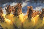 Barrel Cactus Fruit by kradtke