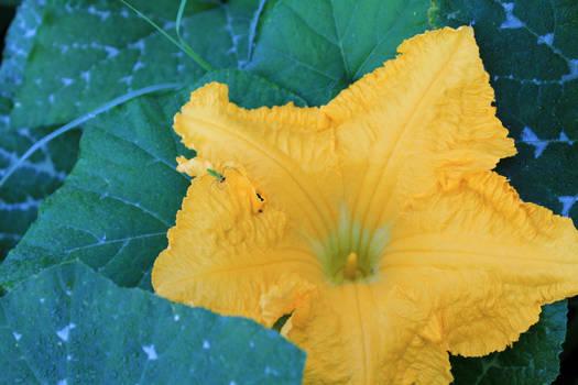 Pumpkin Blossom Tennant