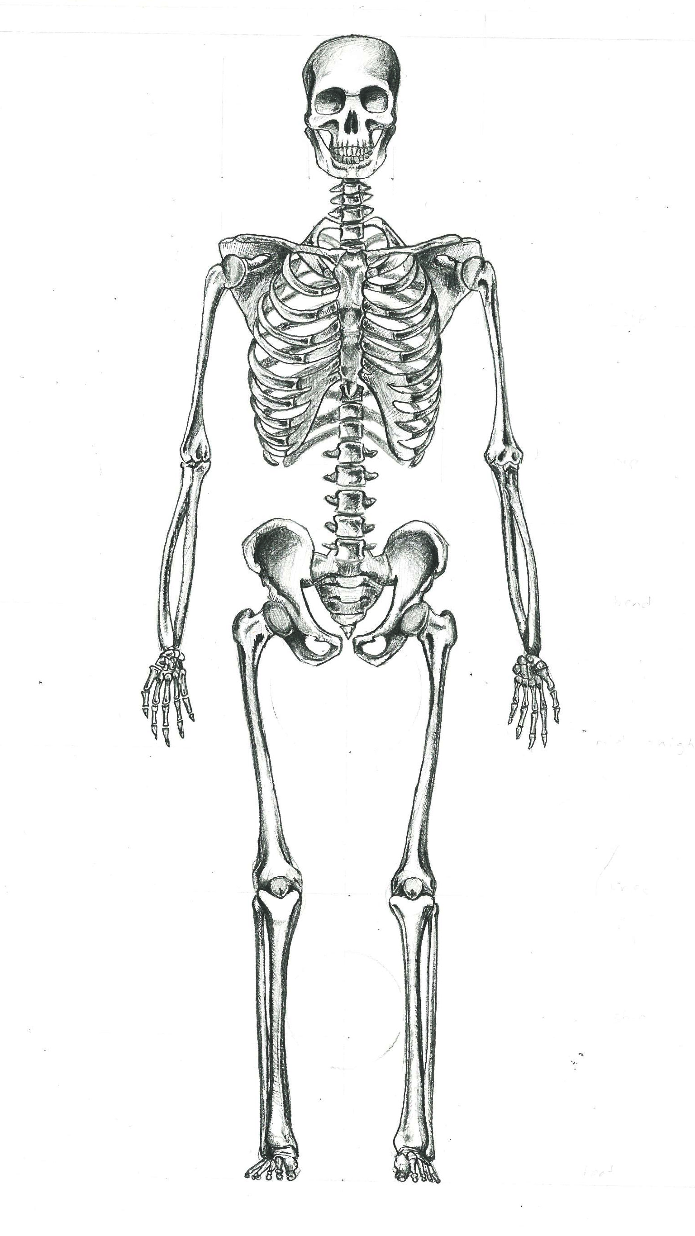 Printable Human Skeleton Diagram  Labeled Unlabeled and