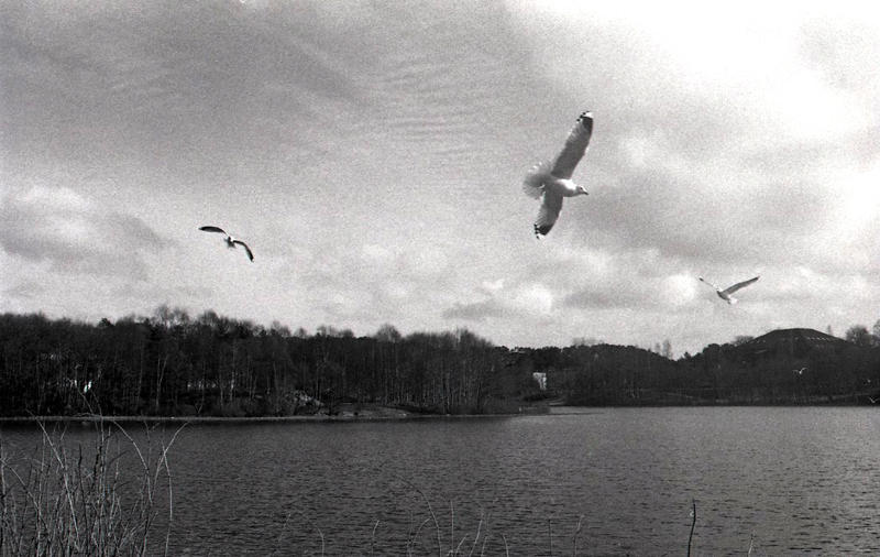 Seagulls by Angband