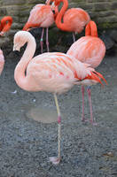 Flamingo 1 by Bubsilein