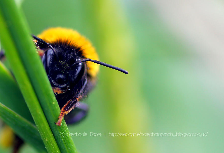 Peek-a-BEE by StephiPhotography