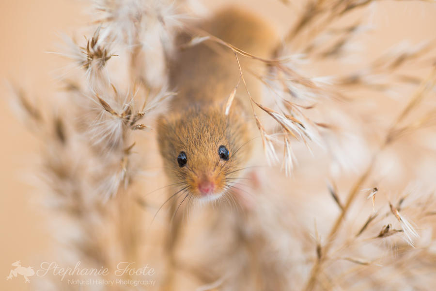 Field Mouse by StephiPhotography