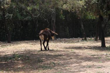 Sable antelope - 2