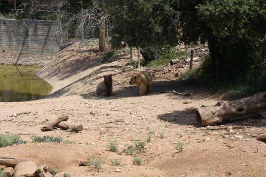Syrian bears - 1