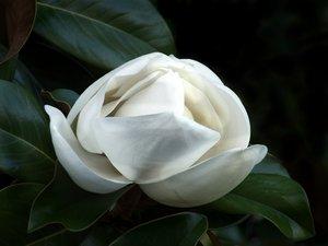 Magnolia Blossom 4 by flower-club