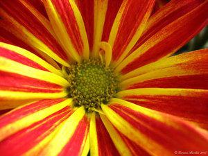 Flower by Searogim