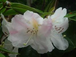 Hibiscus by harmonic-shadow