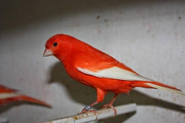 Canari rouge intensif aile blanche