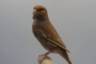 Canari brun pastel jaune by Asuna-chaan