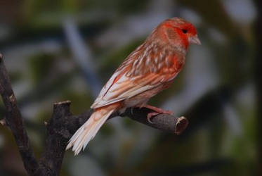 Canari phaeo mosaique rouge