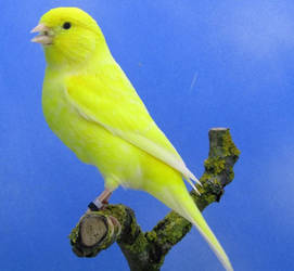 Canari male lipochrome jaune schimmel by Asuna-chaan