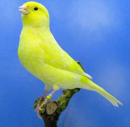 Canari femelle lipochrome jaune schimmel by Asuna-chaan