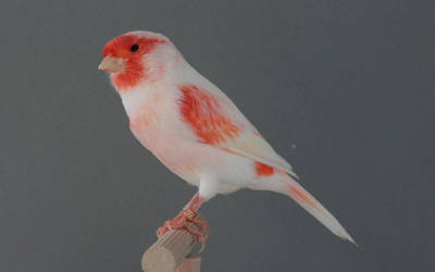 Canari male lipochrome mosaique rouge type 1