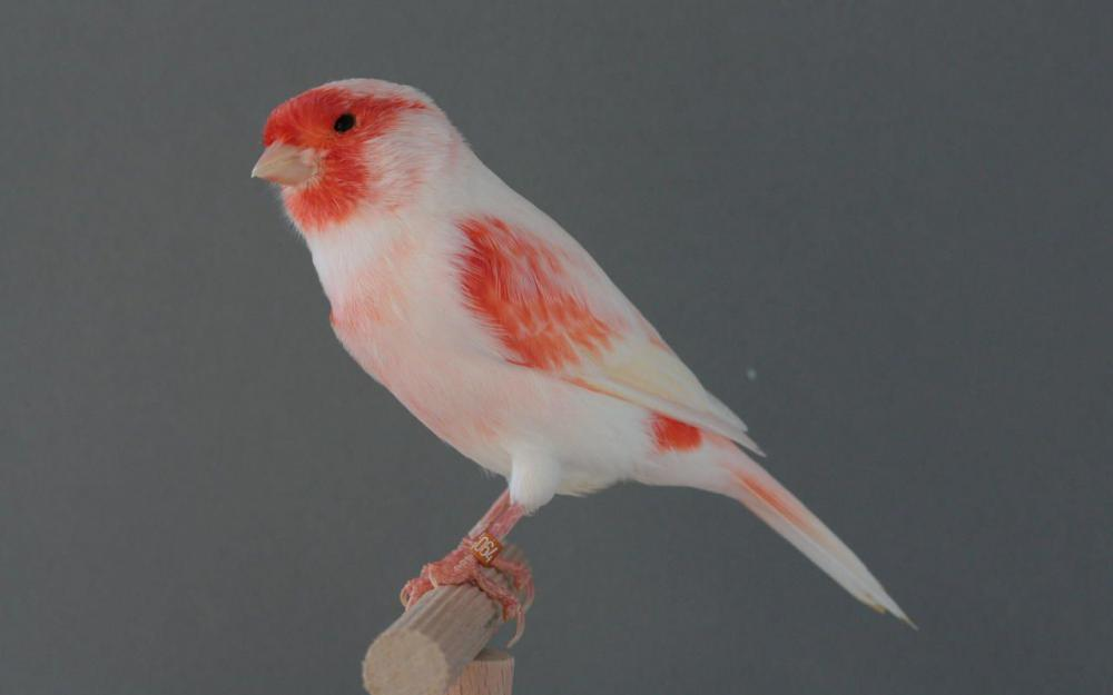 Canari male lipochrome mosaique rouge type 1 by Asuna-chaan