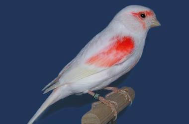 Canari femelle lipochrome mosaique rouge