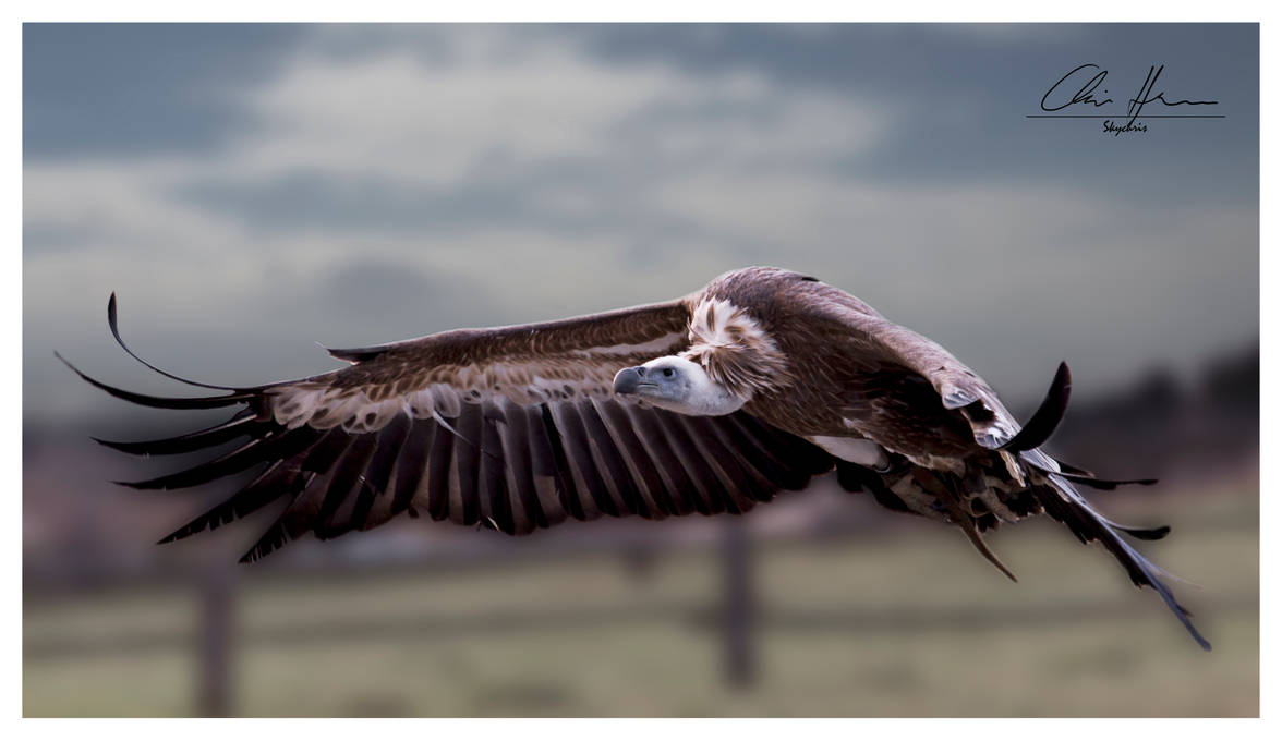 flying vulture by PhotographyChris
