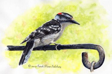 Downy Woodpecker by Sarah-Diane