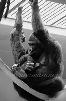 Gorilla's Kiss