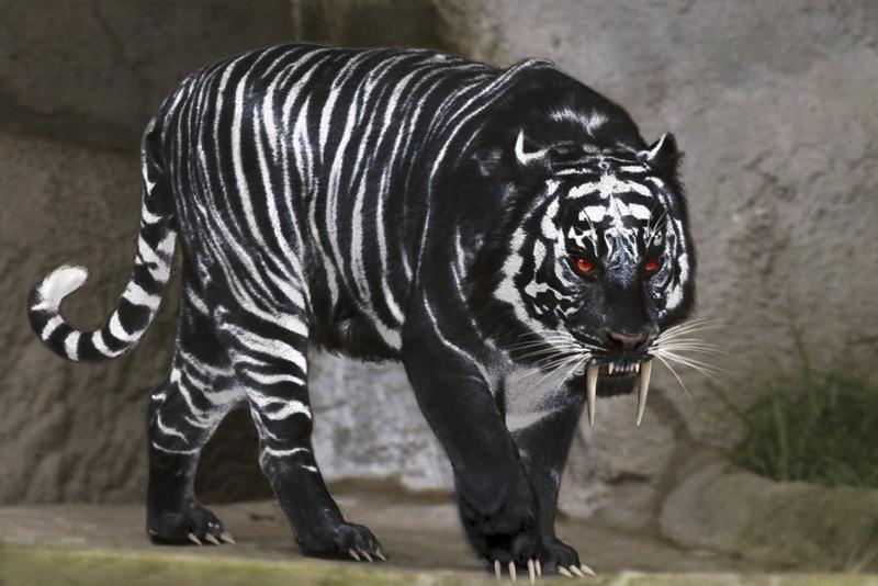 Black tiger by chrischanaud on deviantart - Tiger stripes black and white ...