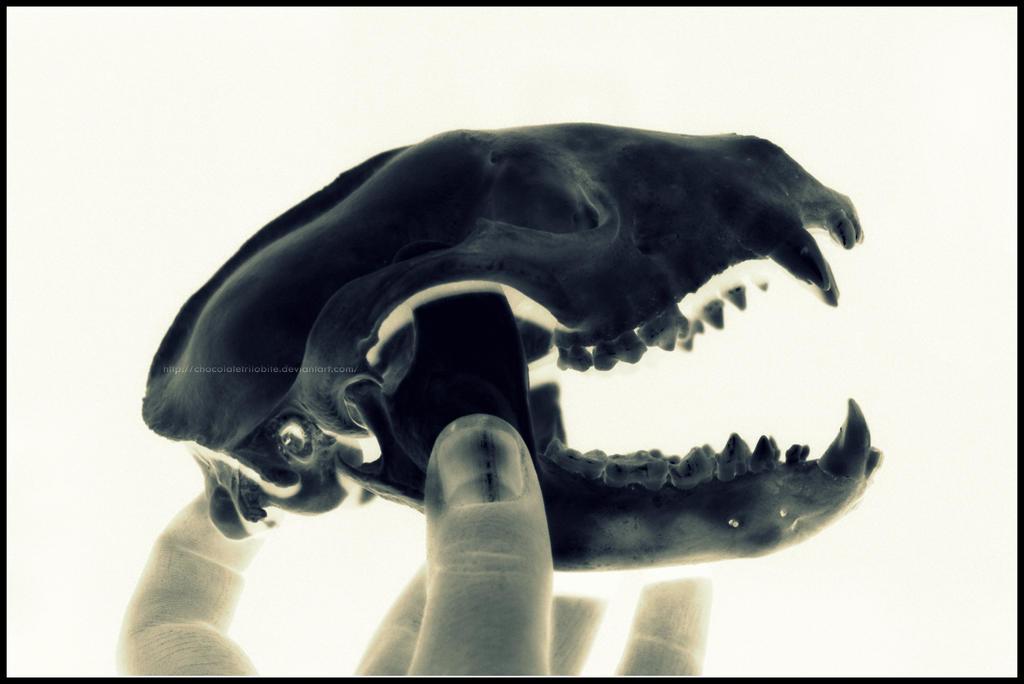Raccoon Skull by ChocolateTrilobite