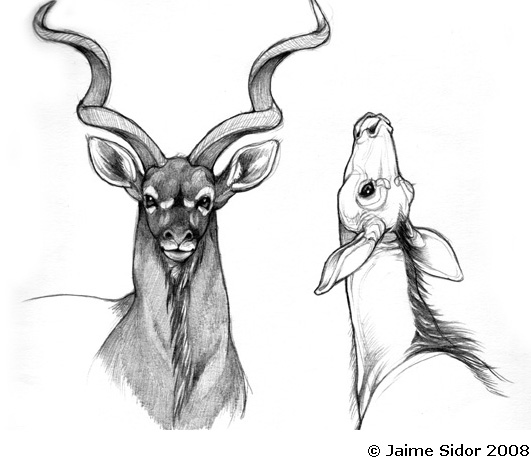 The pictures for Greater Kudu Drawing