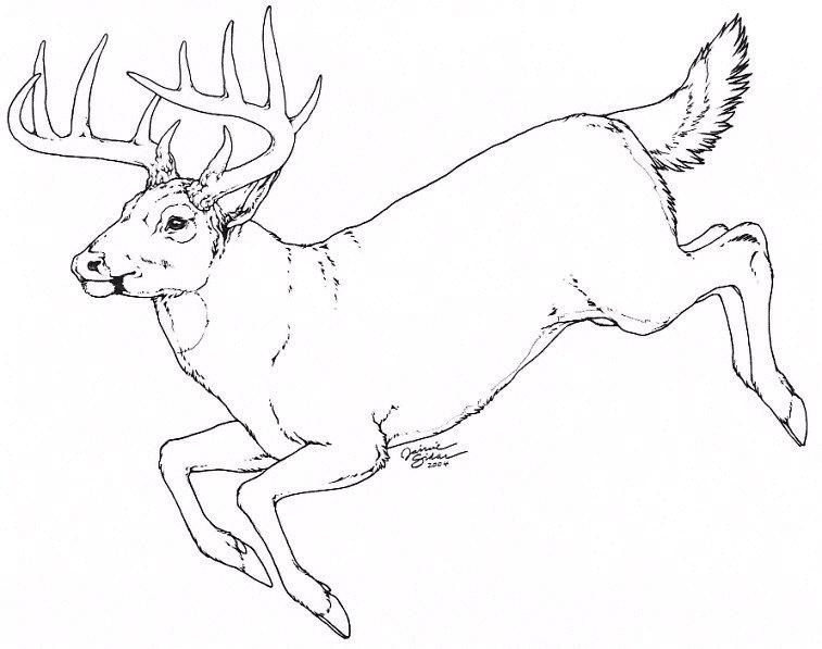 Line Drawings Of Animals Deer : Big whitetail deer sketch templates
