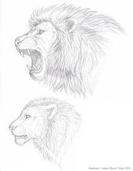 Lion sketches