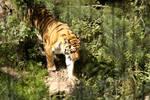 chaged tiger by IsakiYukihara