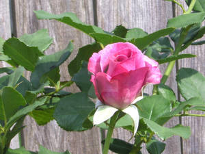 Purple Rose, Next to Fence