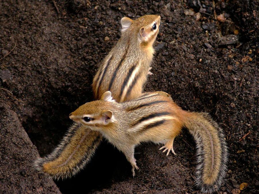 Chipmunks guarding by MichelLalonde