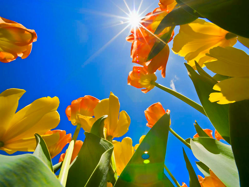 Tulips Reaching by MichelLalonde