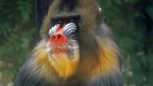 Red Face Mandrill Wallpaper by MichelLalonde